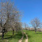 Oberkircher Brennersteig zur Kirschblütenzeit